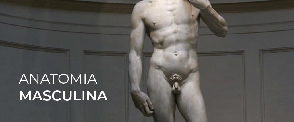 anatomia masculina